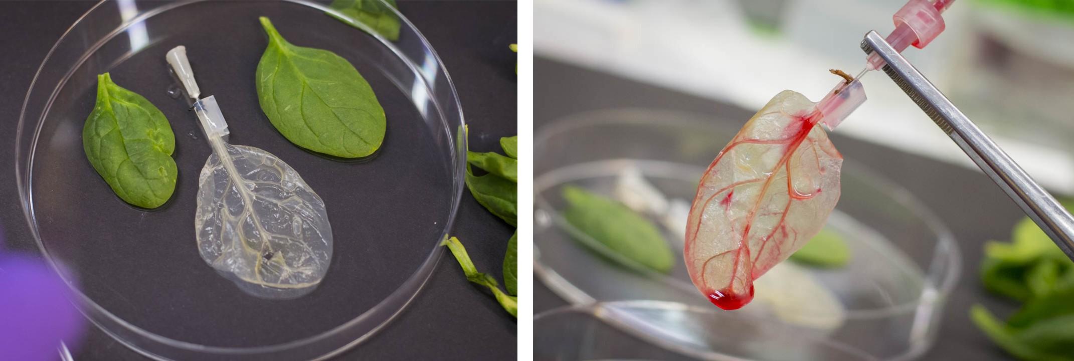 decellularized_leaf